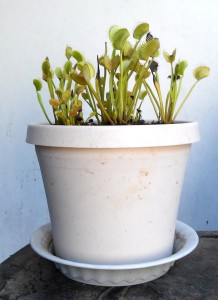 Potted Venus Flytraps