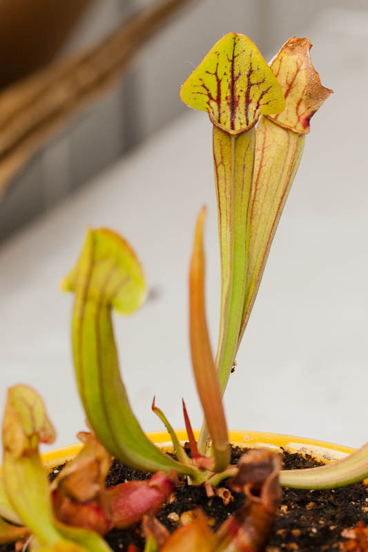 Young Unknown Sarracenia Hybrid
