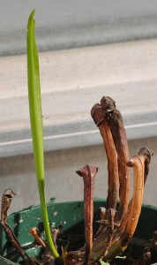 Sarracenia emerging from dormancy