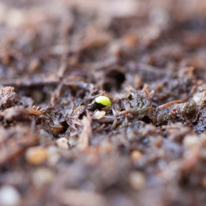 Fly Trap Seed Germination