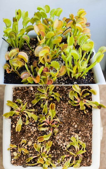 Growing vs Dormant Flytraps