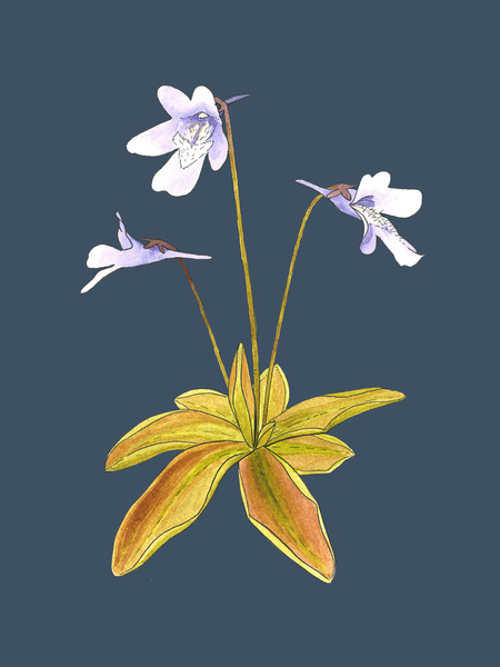 Butterwort Carnivorous Plant Drawing
