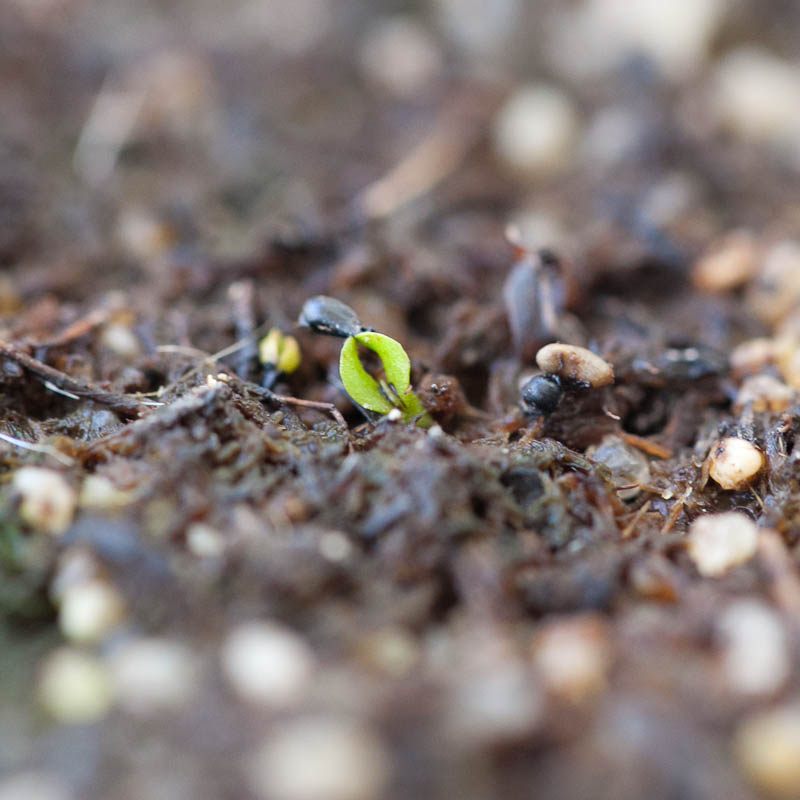 Venus Fly Trap Seedling