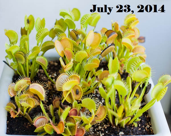 Venus Flytraps in Summer