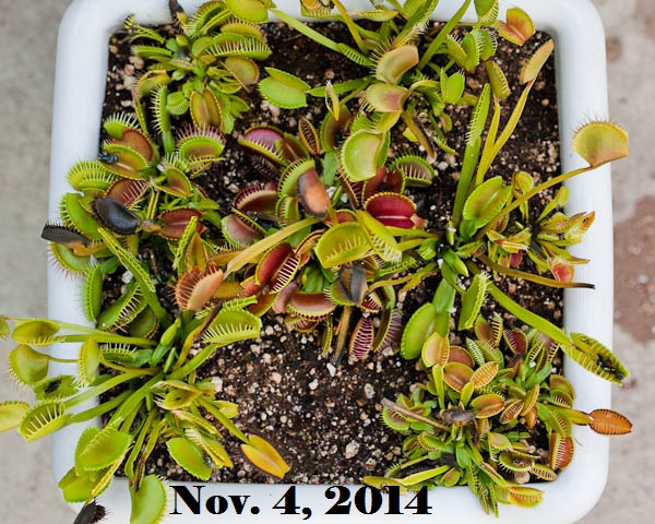 Venus Flytraps Dormancy Period