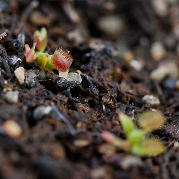Venus Flytrap Seedlings