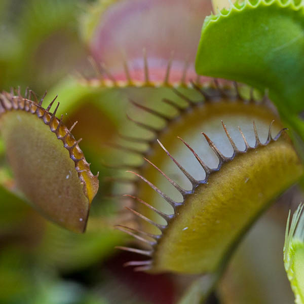 Interesting colors forming on dormant Venus fly traps