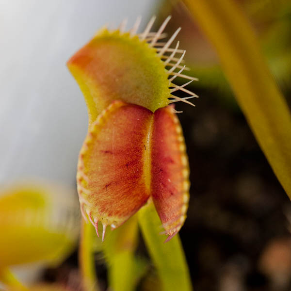 Deep, intense coloring on dormant Venus fly traps