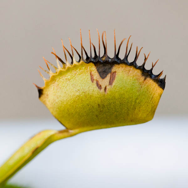 Venus flytrap turning black during dormancy