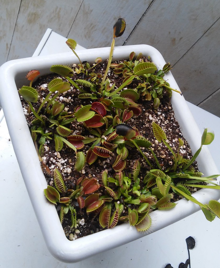 Adult Venus Flytraps in Dormancy